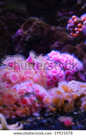 Pink coral in an aquarium - stock photo