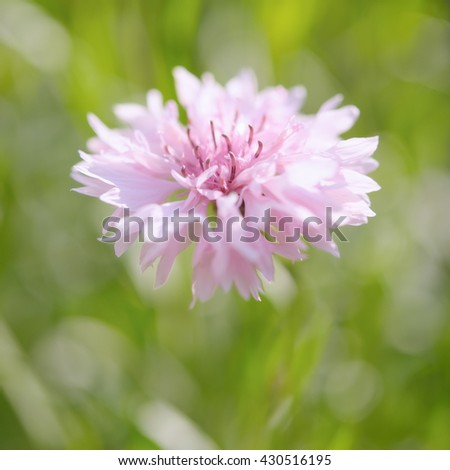 Pink cornflower in pastel colors. Shallow depth of field - stock photo