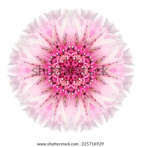 Pink Cornflower Mandala Flower. Kaleidoscope of Centaurea cyanus Isolated on White Background. Beautiful Natural Mirrored pattern