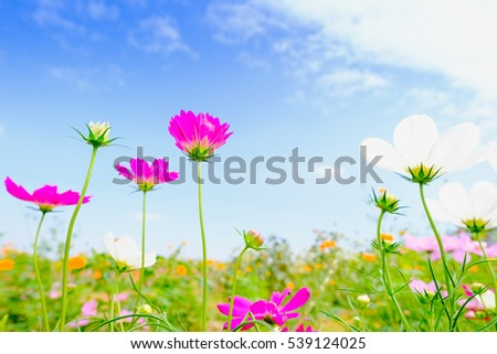 Pink cosmea flower under sunlight and blue sky with selective focus and blurry background.