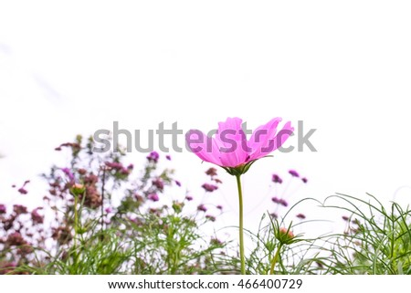 Pink cosmos flower.