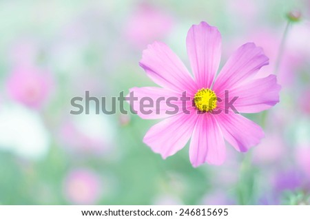 pink cosmos flower, beautiful flower blooming  - stock photo