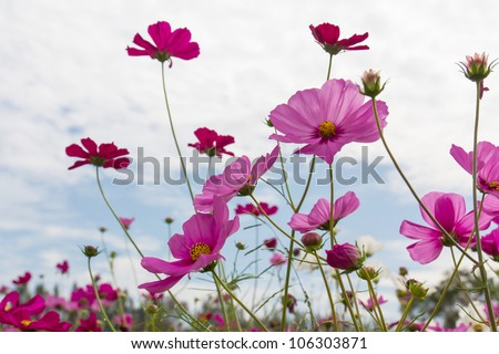 Pink Cosmos  flower family fompositae in garden - stock photo