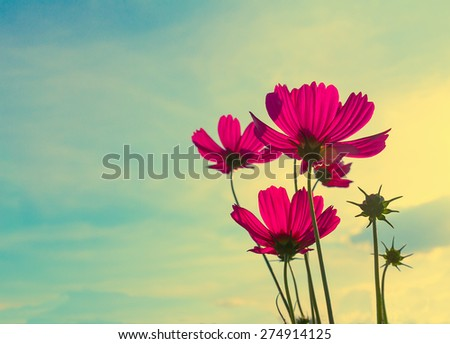 Pink Cosmos flower family fompositae in garden ,Vintage stye - stock photo