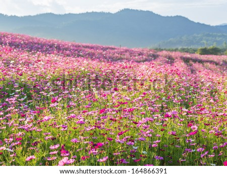 Pink cosmos flower fields with mountain background - stock photo