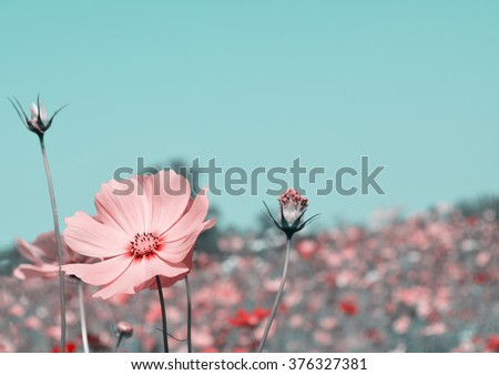 pink cosmos flower vintage effect
