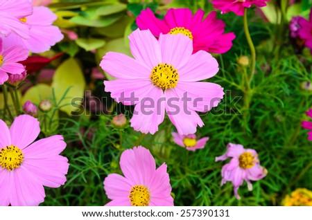 pink Cosmos flowers - stock photo