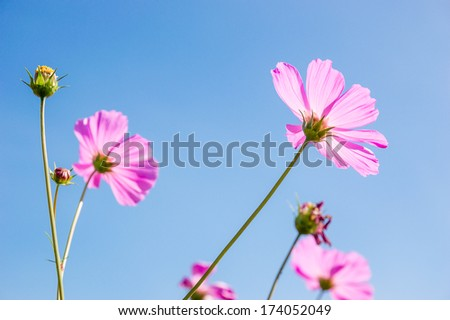 Pink cosmos flowers against blue sky with back light. - stock photo
