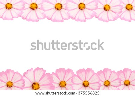 pink cosmos Flowers background - stock photo