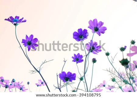 Pink Cosmos flowers blooming in the garden. - stock photo