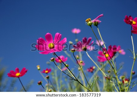 Pink Cosmos flowers with blue sky background - stock photo