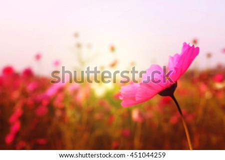 Pink Cosmos flowers with sky - stock photo