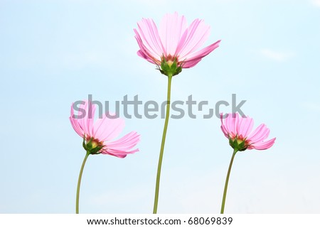pink cosmos with clear sky