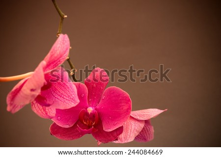 Pink cultivated orchid - ideal greeting card - stock photo