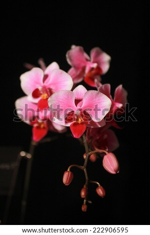 Pink cultivated orchid isolated on a black background - stock photo
