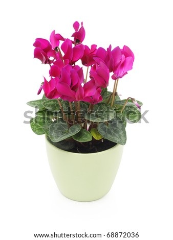 Pink cyclamen flower in green pot