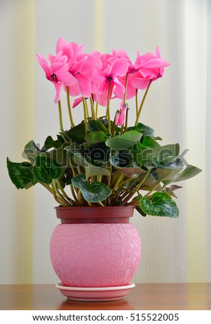 Pink cyclamen on background of white curtains
