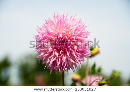 pink Dahila, selective focus.Dahlia is a genus of bushy, tuberous, herbaceous perennial plants native mainly in Mexico, but also Central America, and Colombia - stock photo