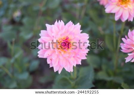 Pink dahlia - stock photo