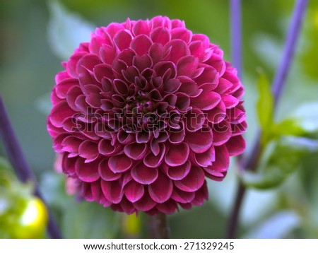 Pink Dahlia blooming flower - stock photo