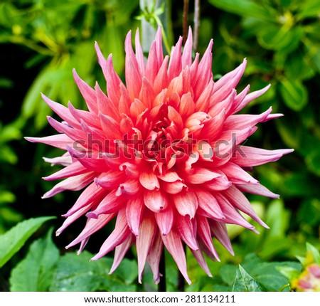 Pink Dahlia Color Photograph - stock photo