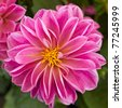 pink dahlia flower closeup - stock photo