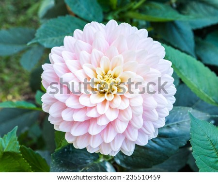 Pink dahlia flower in the small garden. - stock photo