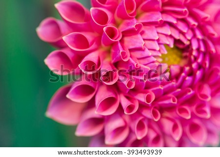 Pink dahlia flower Isolated on White Background. Beautiful pink dahlia Flower - stock photo
