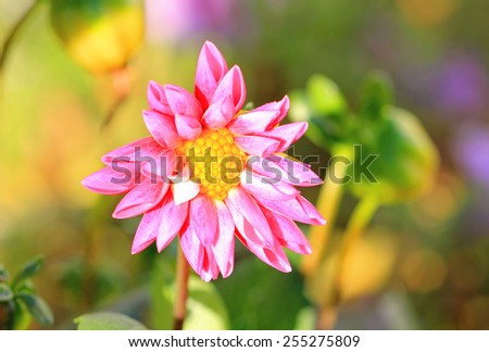 Pink Dahlia flower with green garden setting background - stock photo