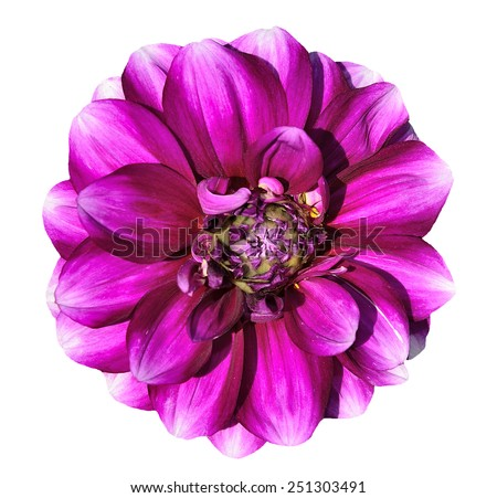 Pink dahlia flowerclose-up isolated on the white background