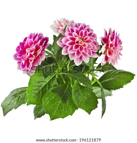 Pink Dahlia Flowers bouquet  Isolated on White Background - stock photo