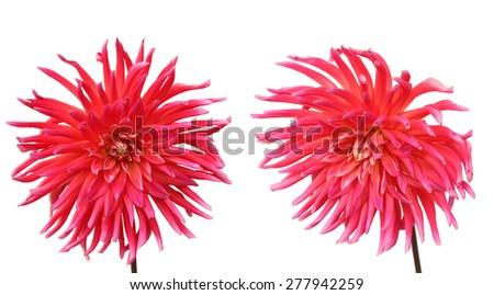 Pink dahlia flowers isolated on white background - stock photo