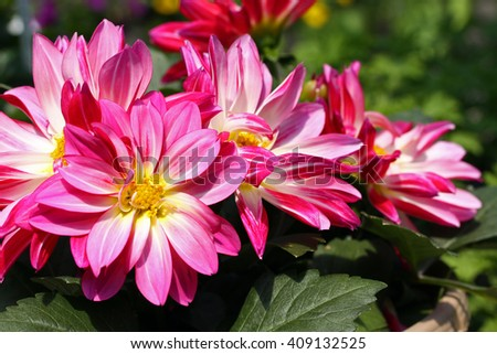 Pink Dahlia flowers with dark green leaves  with blurred background.