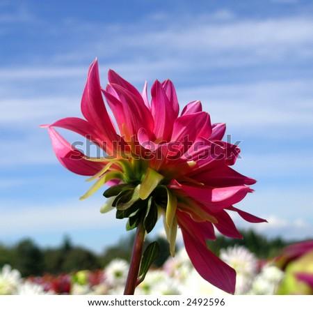 Pink Dahlia in Blue Sky - stock photo