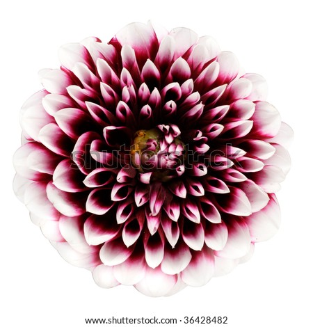 Pink dahlia isolated on a white background - stock photo