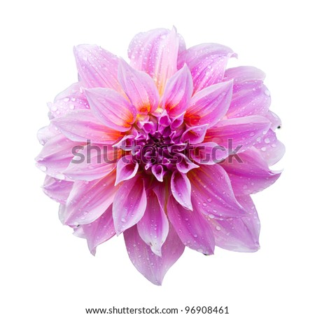 Pink dahlia isolated on white with clipping path - stock photo