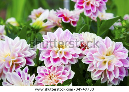 Pink dahlia with rain drops - stock photo