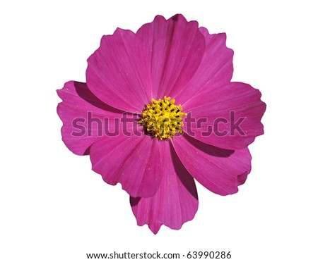 Pink dahlia with yellow isolated on white - stock photo