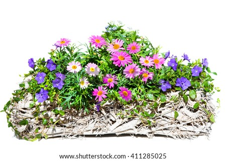 Pink Daisies and common periwinkle or Myrtle a early flowering plant in a decorative white, wooden Basket on white background.