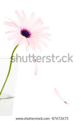 Pink daisy,dropping petals - stock photo