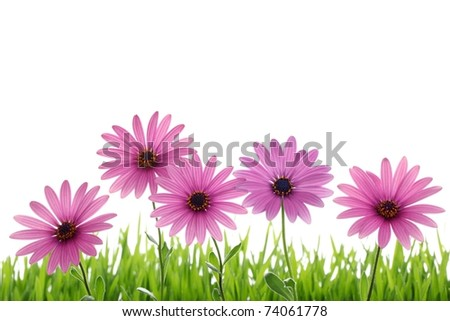 Pink daisy flower in green grass - stock photo