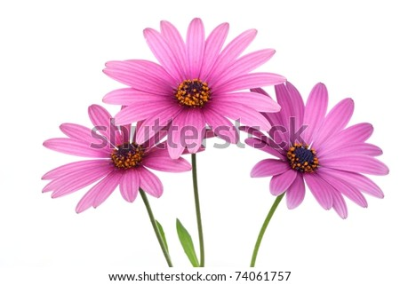 Pink daisy flower isolated on white background - stock photo