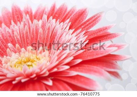 Pink daisy flower with dew - stock photo