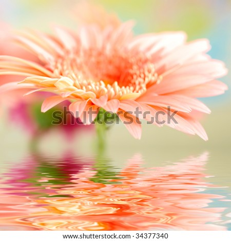 Pink daisy-gerbera with soft focus reflected in the water - stock photo