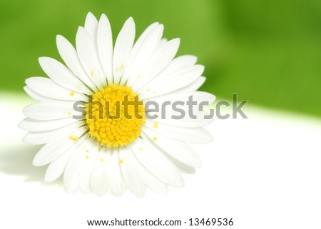 pink daisy isolated on white-green background - stock photo