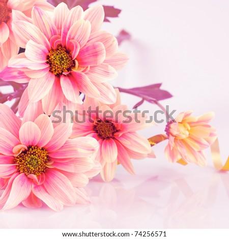 Pink daisy, old stylized. Still life on white - stock photo