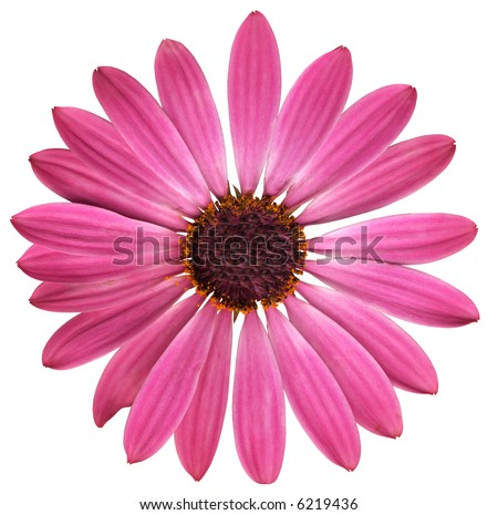 pink daisy with dark center - stock photo