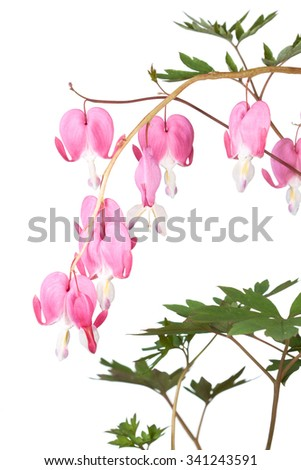 Pink dangling bleeding hearts cascade downward on a yellow vine. The green leaves frame the fushsia colored petals of the heart shaped flowers. On a white background.