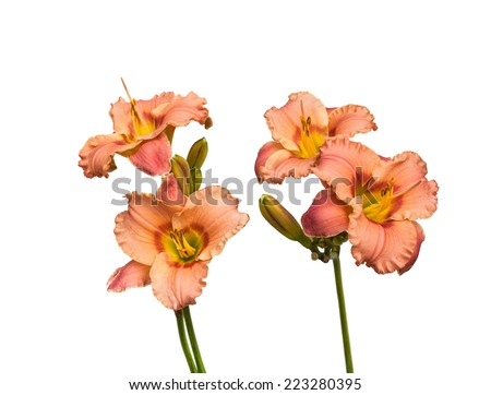 pink day-lily flowers, isolated on white - stock photo