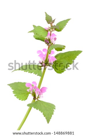 Pink dead-nettle (Lamium orvala), on white background.  - stock photo
